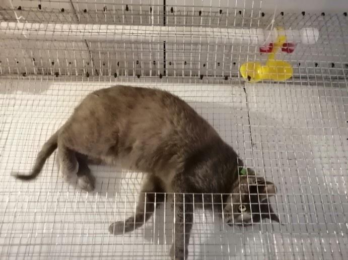 Кот тестирует клетку для перепелов