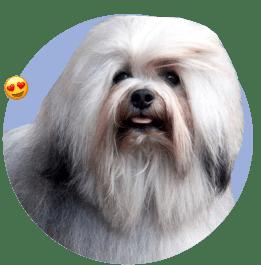 собака лион бишон, львиная собака