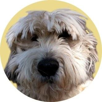 Купеческий пес Серко