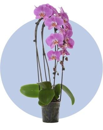 Дорогое комнатное растение
